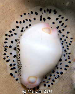 cowrie in a sponge 